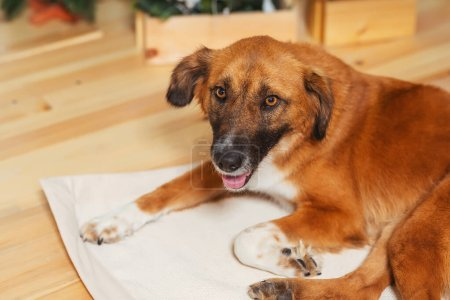 Photo pour Portrait d'un chien errant. La tête d'un chien rouge gros plan. Un chien pris dans un refuge . - image libre de droit