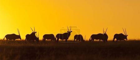Photo pour Un troupeau de Gemsbok (Oryx gazella) au coucher du soleil au Damaraland en Namibie - image libre de droit