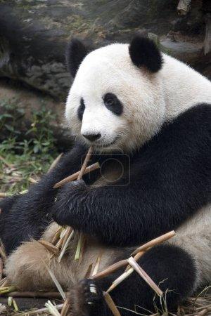 Panda en la Estación de Investigación Chengdu Panda - Chengdu - China
