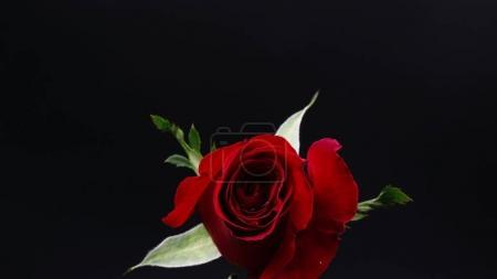 Photo pour Rose de rouge assez sombre sur fond noir - image libre de droit