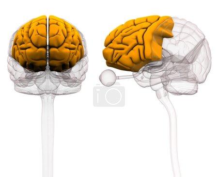 Frontal Lobe Brain Anatomy - 3d illustration...