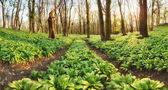 Forest path through wild garlic - Allium ursinum