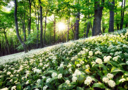 Photo for Wild garlic flowers in the forest with sun - Nature landscape - Royalty Free Image