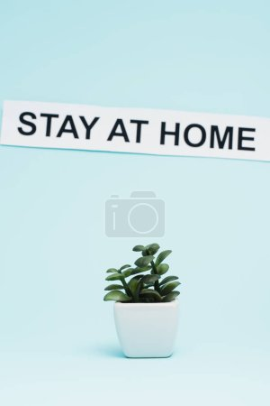 Photo for Flowerpot with money plant near card with stay at home lettering on blue background - Royalty Free Image