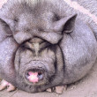 Pictures Vietnamese pot-bellied pig lying on the g...