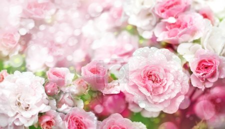 Close up of blossoming pink roses flowers