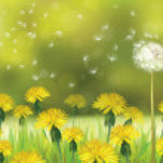 Постер, плакат: Dandelions flowers field
