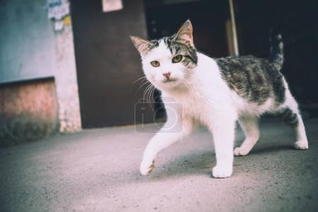 kitten with a white and black color strides along the street