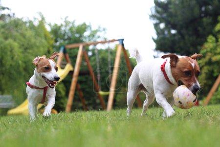 Hunde spielen mit Ball im Garten.