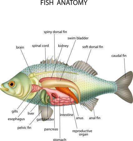 Anatomy of fish on white background