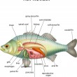 Vector illustration of Anatomy of fishon white bac...