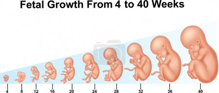 Illustration for Vector illustration of Fetal growth from 4 to 40 weeks - Royalty Free Image