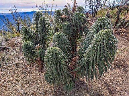 Photo pour Echium wildpretii pousse à l'état sauvage après un incendie dans les montagnes d'Ojai, en Californie - image libre de droit