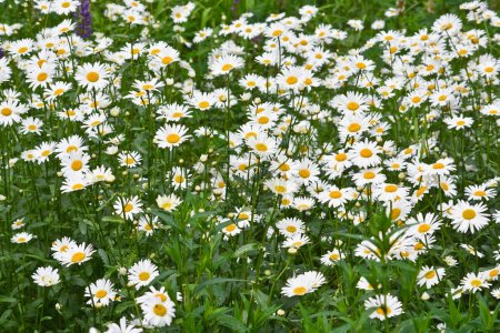 Chamomile on a green meadow