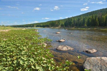 Photo pour Forêts vierges de Komi. Rivière dans un parc national dans l'Oural du Nord à la mi-été. - image libre de droit