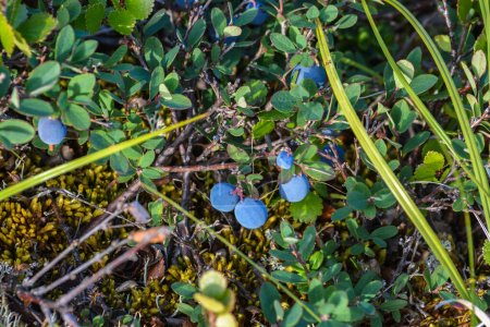 Photo for Ripe blueberries. Wild berry of the summer Yamal. - Royalty Free Image