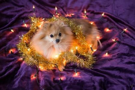cute little German spitz dog decorated with Christmas lights on purple background, symbol of year 2018
