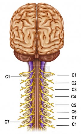 Vertebrae and nerves cervical plexus