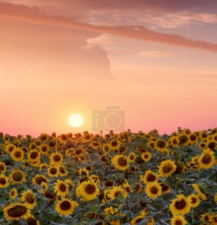 Sunflowers on field during sunrise