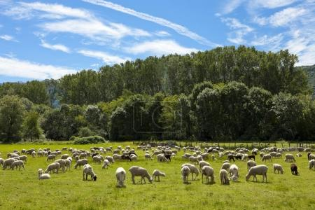 flock of sheep grazing in green meadows Swiss