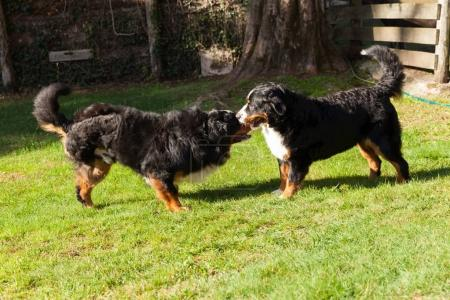 Bernese dogs in the nature, green lawn