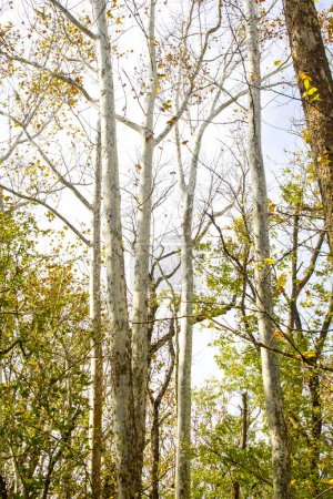 Photo for A canopy of tree leaves and branches. - Royalty Free Image
