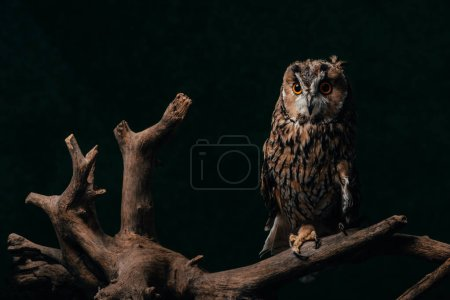 cute wild owl on wooden branch isolated on black