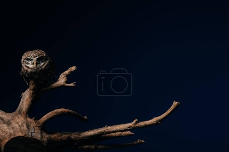 cute wild owl on wooden branch isolated on black with copy space
