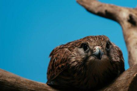 Photo pour Foyer sélectif de chouette sauvage mignonne sur branche en bois isolé sur bleu - image libre de droit