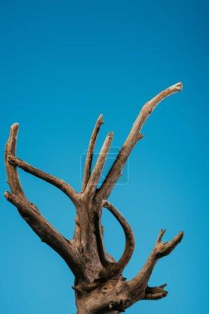 Photo pour Branche en bois isolée sur bleu avec espace de copie - image libre de droit