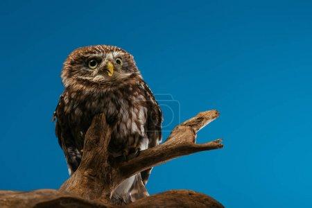 Photo pour Chouette sauvage mignonne sur branche en bois isolé sur bleu - image libre de droit
