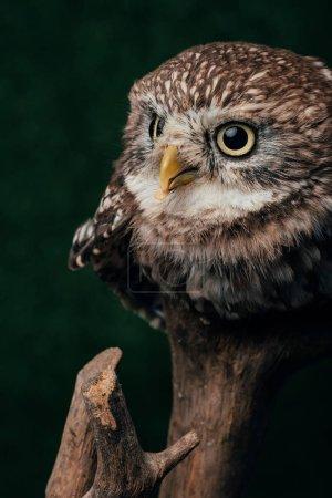 Photo pour Chouette sauvage mignonne brune sur branche en bois isolé sur noir - image libre de droit
