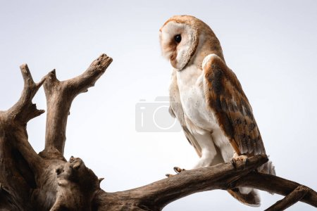 Photo for Cute wild barn owl on wooden branch on white - Royalty Free Image