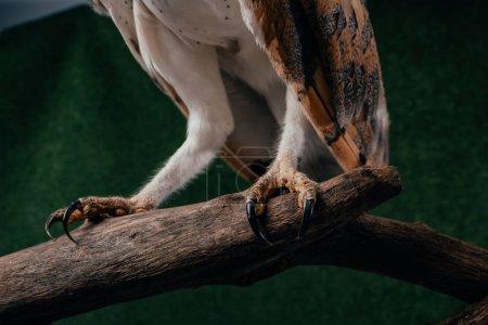 Photo pour Vue rapprochée des griffes du hibou des clochers sauvages sur une branche en bois sur fond vert - image libre de droit
