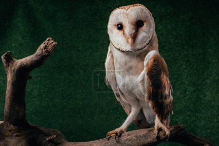 cute wild barn owl on wooden branch on green background