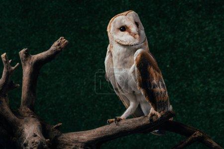 Photo pour Chouette grange sauvage mignonne sur branche en bois sur fond sombre - image libre de droit