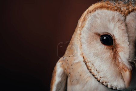 Photo for Cropped view of cute wild barn owl head on dark background - Royalty Free Image