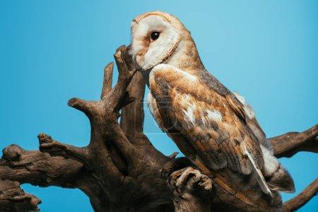 Photo pour Chouette des clochers sauvage pelucheux assis sur une branche en bois isolé sur bleu - image libre de droit