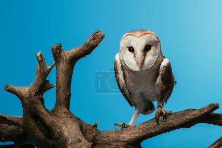 Photo pour Hibou des marais pelucheux sur branche de bois isolé sur branche bleue - image libre de droit