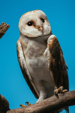 fluffy wild barn owl on wooden branch isolated on blue