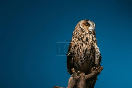 cute wild owl on wooden branch isolated on blue