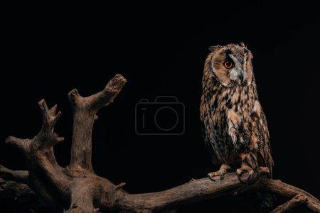 Photo pour Mère chouette sauvage assise sur une branche de bois isolée sur fond noir - image libre de droit