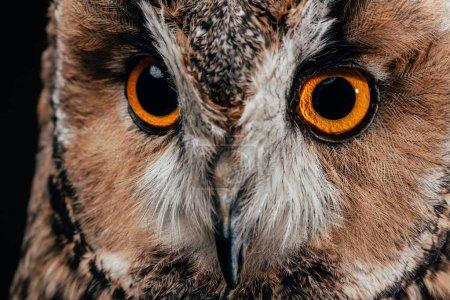 cute wild owl muzzle isolated on black