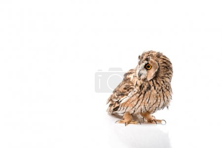 Photo for Cute fluffy wild owl isolated on white with copy space - Royalty Free Image