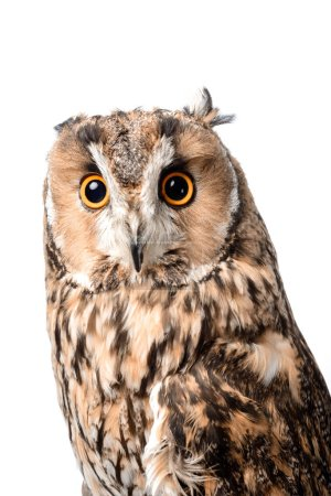 Photo for Cute wild owl isolated on white - Royalty Free Image