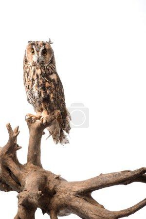 Photo pour Hibou sauvage assis sur une branche de bois isolé sur blanc - image libre de droit