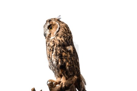 Photo for Side view of wild owl sitting on wooden branch isolated on white - Royalty Free Image