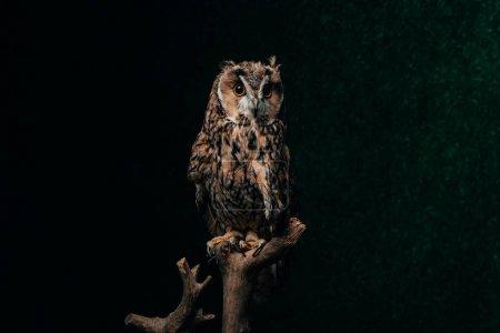 wild owl sitting in dark on wooden branch isolated on black