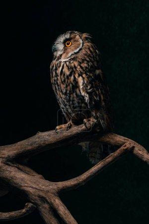 Photo pour Hibou sauvage assis dans la noirceur sur une branche de bois isolé sur noir - image libre de droit