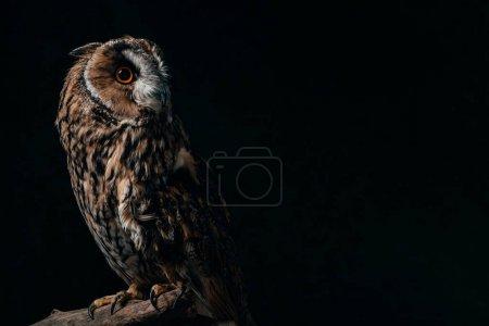 Photo pour Hibou sauvage assis dans la noirceur sur une branche de bois isolé sur fond noir avec espace de reproduction - image libre de droit